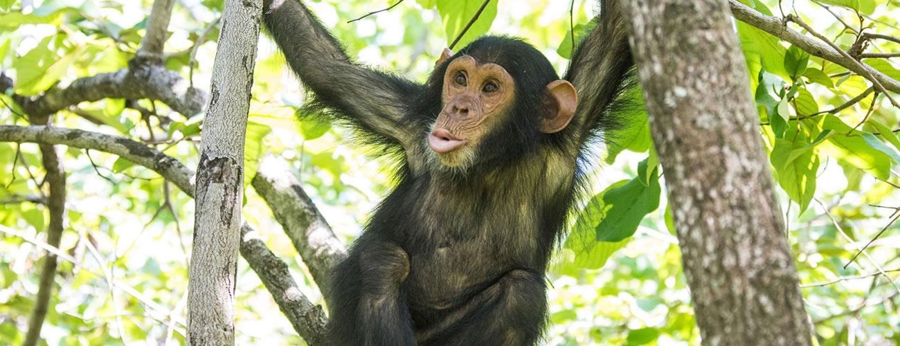Chimpanzee Primate species