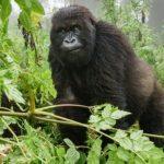 congo gorilla permit