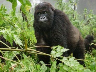 Congo Gorilla Trekking Safaris